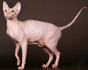 gatti-senza-pelo-DONSKOY-2