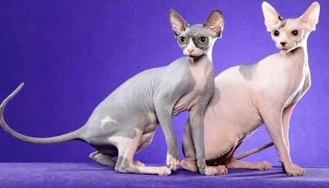 gatti-senza-pelo-DONSKOY