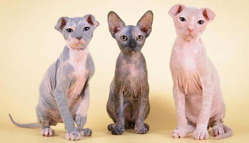 gatti senza pelo LEVKOY-2