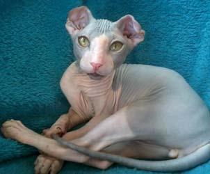 gatti-senza-pelo-LEVKOY