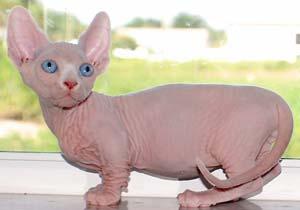 gatti-senza-pelo-bambino-2