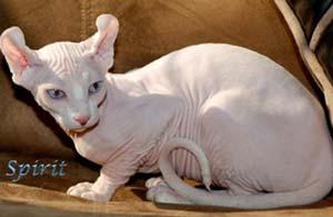 gatti senza pelo-elfo-2