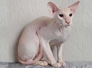 gatti-senza-pelo-peterbald-2