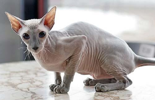 gatti-senza-pelo-peterbald