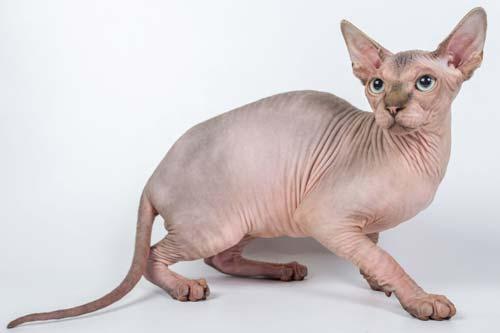 gatti-senza-pelo-sphynx