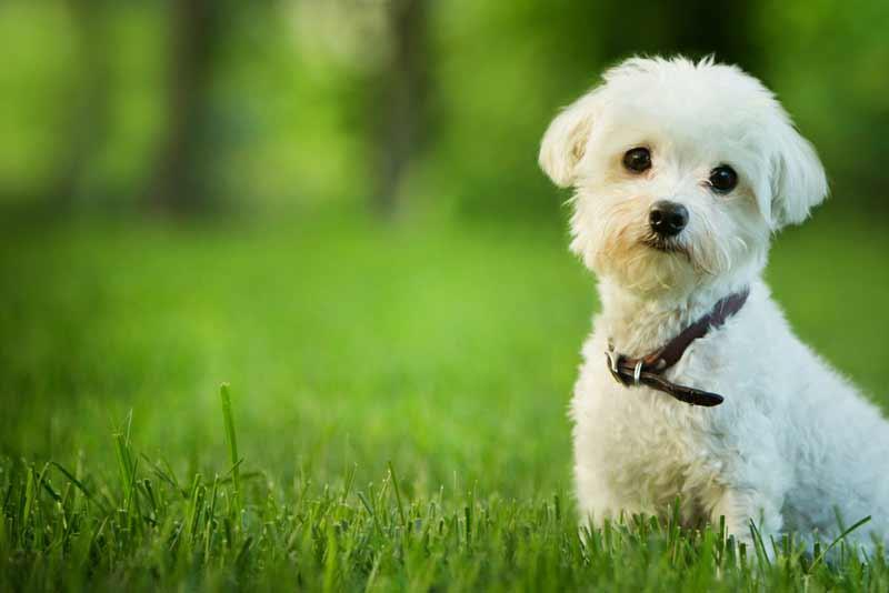 🐶 Cani piccola taglia: le 38 razze fino a 15Kg per ogni esigenza