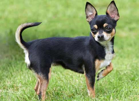 cani-piccola-taglia-Chihuahua-