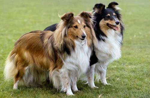 cani-piccola-taglia-Shetland-Sheepdog