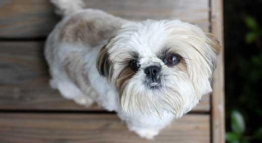 cani piccola taglia-ShihTzu