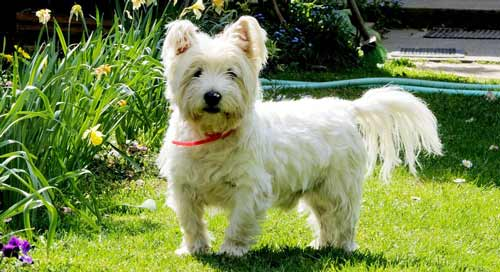 cani-piccola-taglia-WestHighland-Terrier