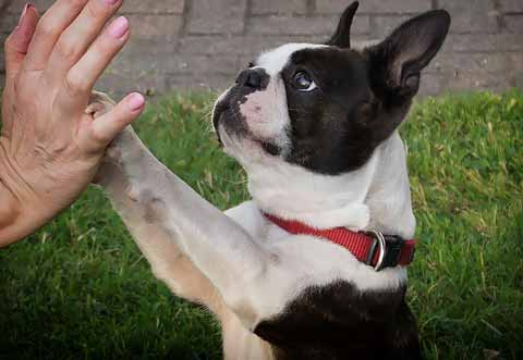 cani da appartamento boston terrier