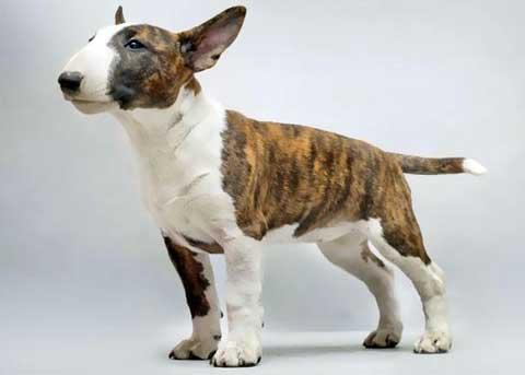 cani piccola taglia bull-terrier