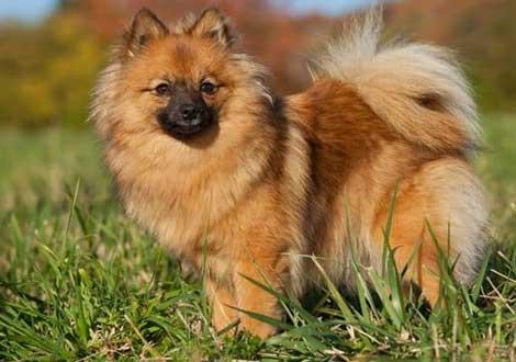 cani-piccola-taglia-german-spitz