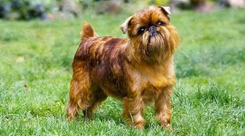 cani-piccola-taglia-griffone-bruxelles