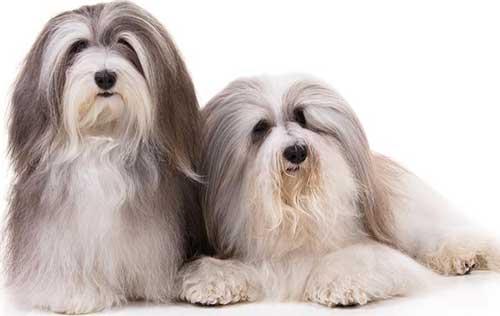 cani-piccola-taglia-havanese