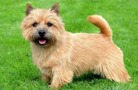 cani-piccola-taglia-norwich-terrier