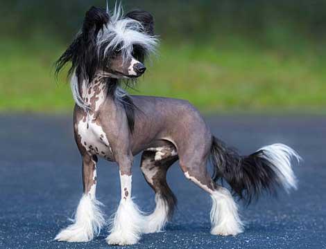 cani-piccola-taglia-nudo-cinese