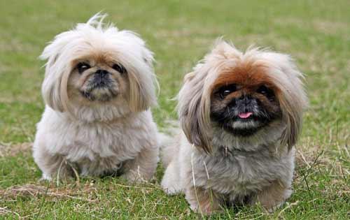 cani piccola taglia-pechinese