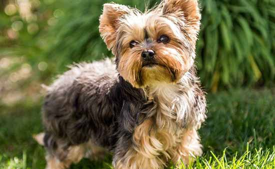 cani-piccoli-Yorkshire-Terrier-