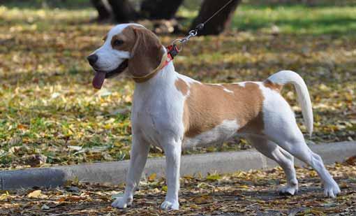 cani-piccoli-beagle