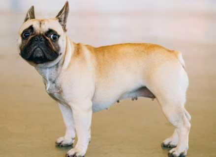 cani-piccoli-bulldog-francese