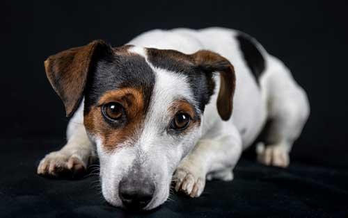 cani-piccoli-jack-russel