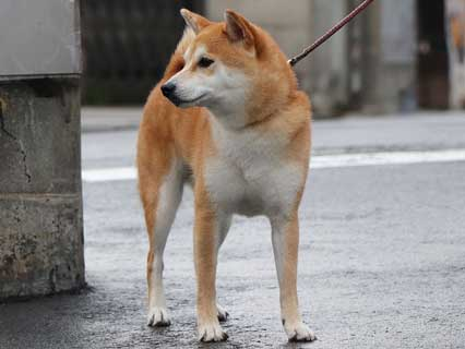 cani piccola taglia shiba-inu