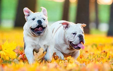 cane appartamento bulldog