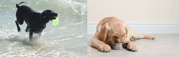 labrador-retriever-cibo-acqua