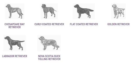 labrador-retriever-standard