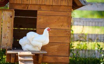 pollaio per galline