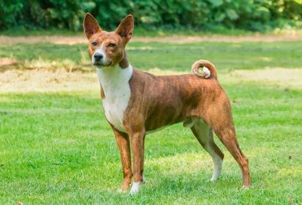 Basenji-cane-che-non-perde-il-pelo