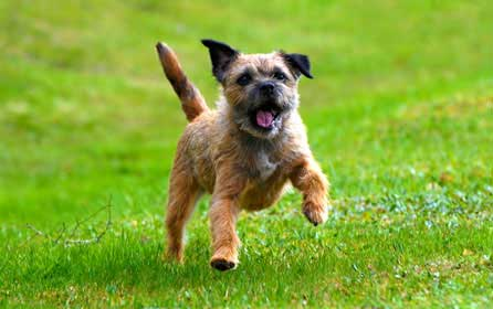 Border-Terrier