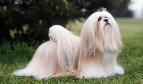 Cani-che-non-perdono-il-pelo-Lhasa-Apso