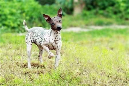 Cani-che-non-perdono-il-pelo-american-hairless-terrier