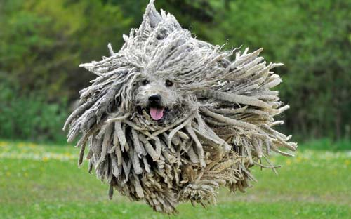 Komondor cane che non perde pelo