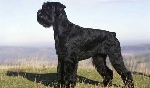 Schnauzer-gigante-cane