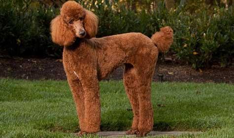 barbone-poodle