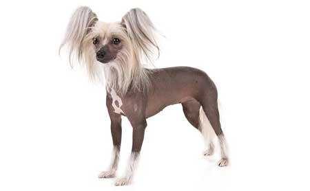 cane-crestato-cinese