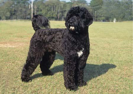 cane-portoghese-d'acqua