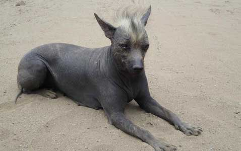 cane senza peli Khala