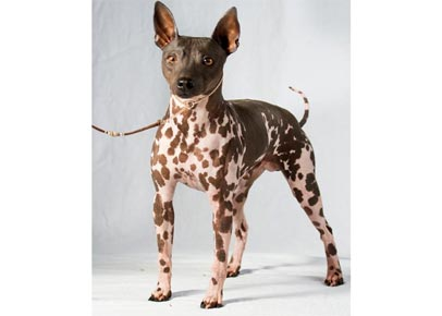 cane-senza-pelo-abyssinian-terrier