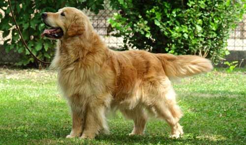 cani grandi golden retriever