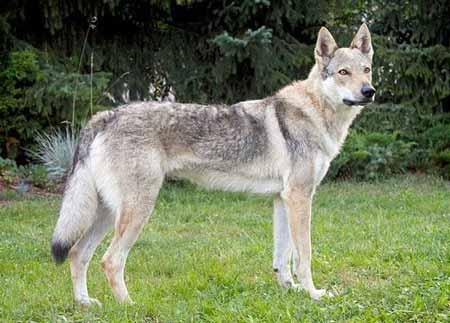 cani grandi lupo cecoslovacco