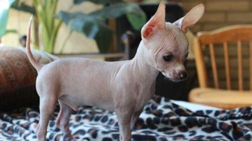 cani-senza-peli-chihuahua