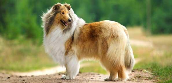 collie-pastore-scozzese