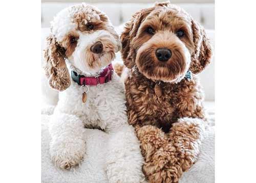 labradoodle cani che non perdono pelo