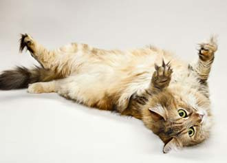 maine coon gatto-4
