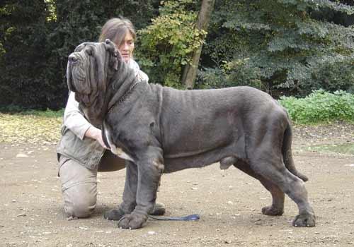 mastino napoletano cani giganti